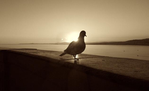 Pigeon against sunset