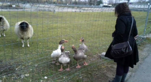 Sheep and geese outside the Offenbach venue